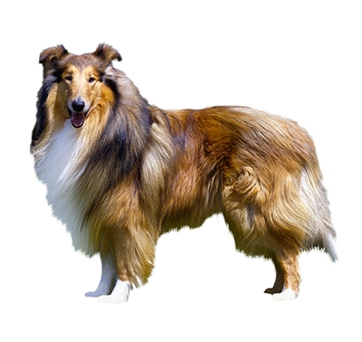 Langhåret collie