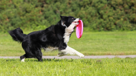dog with frisbee